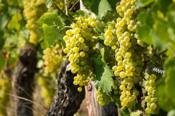 vini-bianchi-italiani-meglio-francesi
